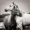 Camargue Horses No. 14