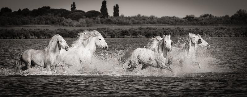 Camargue Horses No. 10