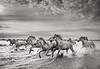 Camargue Horses No. 24