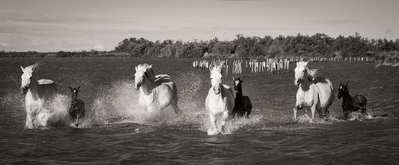 Camargue Horses No. 62