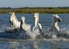 Camargue Horses No. 5