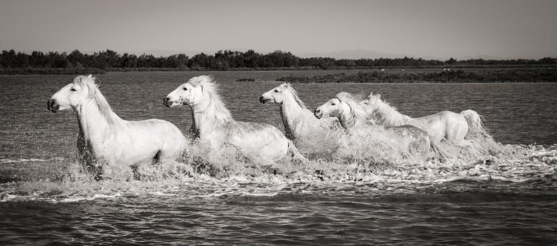 Camargue Horses No. 29