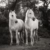 Camargue Horses No. 47