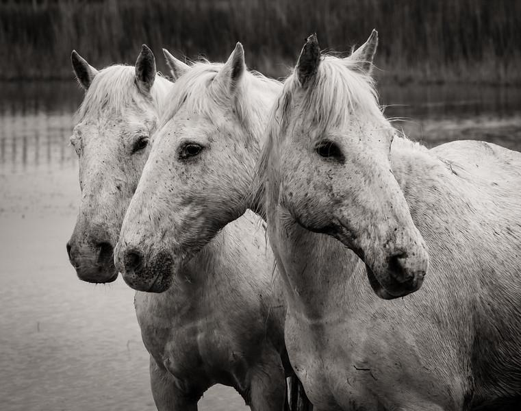 Camargue Horses No.  17