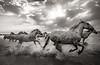 Camargue Horses No. 30