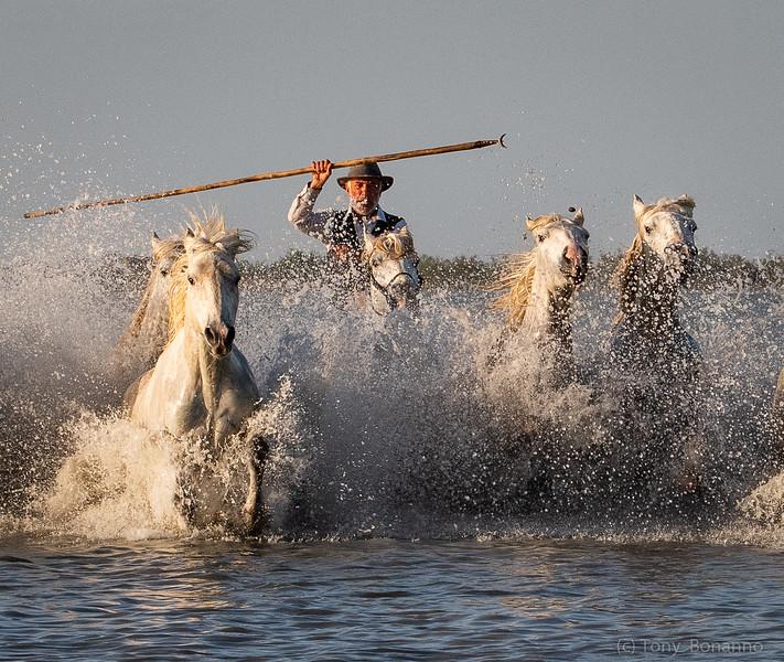 Camargue Horses and Gardian