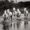 Camargue Horses No. 19