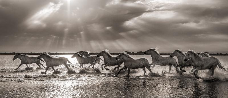 Camargue Horses No. 57