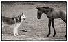 Camargue Horses No. 58