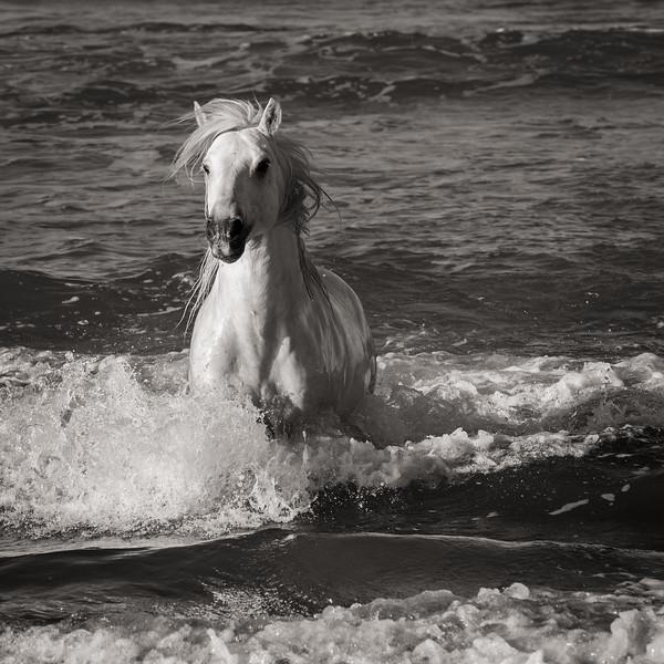 Camargue Horses No. 56