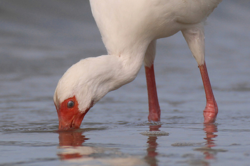 White Ibis (notice the protective film over eye)