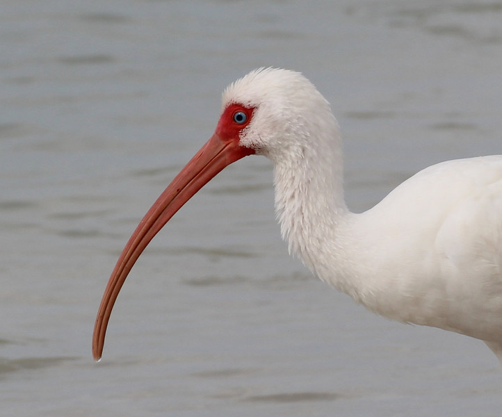 White Ibis (His true color - no enhancements)