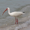 White Ibis at Lover's Key State Park