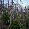 Ice killed trees on Mount Tom.