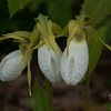 Pink Lady's Slippers (Cypripedium acaule) along Slippery Brook Trail.