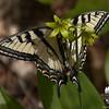 Eastern Tiger Swallowtail (Papilio glaucus) on Clintonia (Clintonia borealis)