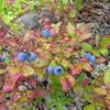 Low Bush Blueberry Vaccinium angustifolium