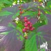 Autumn Hobblebush (Viburnum lantanoides)