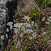Early Saxifrage (Saxifrage virginiensis)