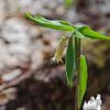 """Sessileleaved Bellwort """"Wild Oats""""  (Uvular sessilifolia)"""