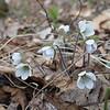 Round-lobed Hepatica (Anemone americana) on Mount Rowe.