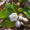 Trailing Arbutus (Epigaea repens) as we descend the trail towards Mount Rowe.