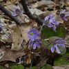 Roundlobed Hepatica (Anemone americana)