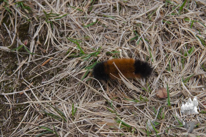 Wooly Bear Caterpillar (Pyrrharctia isabella)