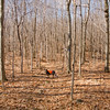 Blue takes the lead through the bare forest.