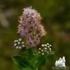 Meadow Sweet (Spiraea alba) var. latifolia