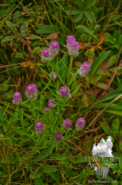 This was all over the summit. Not sure but my guess is a type of vetch.