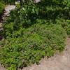 Sheep Laurel (Kalmia augusifolia)