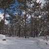 Pitch Pine (Pinus rigida) or possibly Scotch Pine (Pinus sylvestris) Will try to clarify.