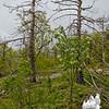Lowbush Blueberry (Vaccinium augustifolium)