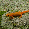 Eft Stage: Red Spotted Newt (Notophthalmus viridescens)