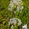 I think: Common Chokecherry (Prunus virginiana)