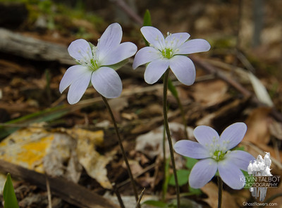 On our descent- Roundlobed Hepatica (Anemone americana)...