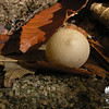 False Puffball (Scleroderma aurantium)