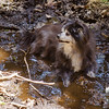 Cooling off in the mud between Belknap and Gunstock...