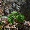 Didn't have to look far for flowers, these were right where we parked- Wake Robin (Trillium erectum)