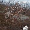 "Downy Serviceberry, better known as ""Shadbush"" (Amelanchier arborea)"