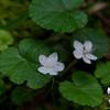 Canada Anemone (Anemone canadensis)