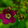 Purple Flowering Raspberry (Rubus odoratus)
