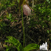 Pink Lady's Slipper (Cyprepedium acaule) South of Evan's Notch.