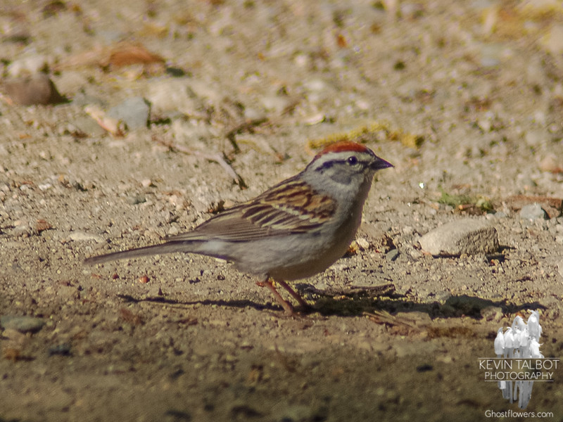Chipping Sparrow (Spizella passerina)