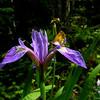 Hobomok Skipper (Poanes hobomok) on Blue Flag Iris (Iris versicolor)