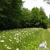 Oxeye Daisy (Chrysanthemum leucanthamum)