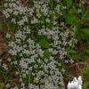 Bluets (Houstonia cerulean) near Hermit Lake Shelter.