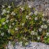 Labrador Tea (Rhododendron groenlandicum) is in bloom near Glen Boulder.