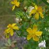 Common St. John's Wort (Hypericum perforatum)